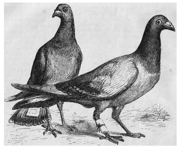 pigeonmessengers